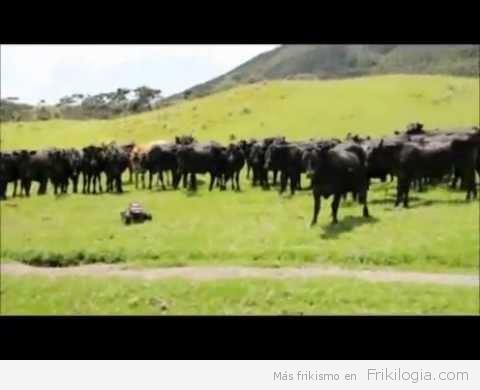 Pastoreando vacas con un coche de control remoto